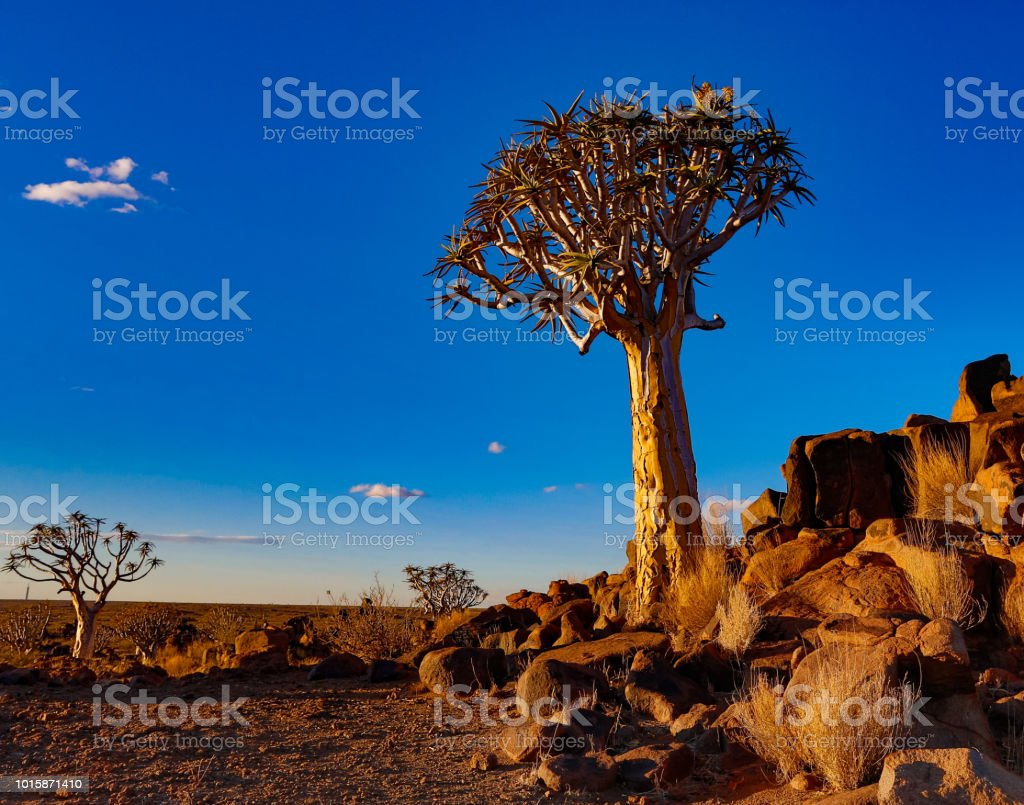 Quivertrees son exclusivas de Namibia - foto de stock