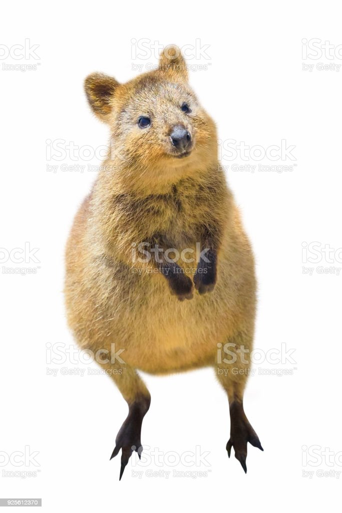 Quokka isolated on white stock photo