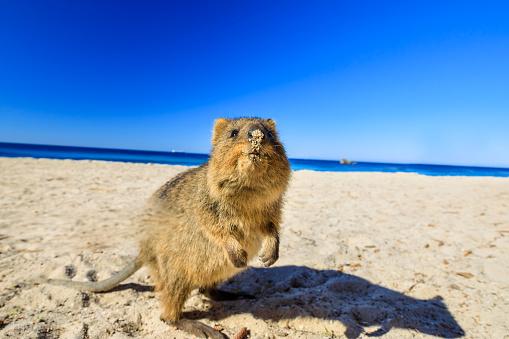 Quokka on the beach