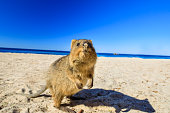 A curious Quokka on the Basin Beach on Rottnest Island, Western Australia.Quokka is considered the happiest animal in the world thanks to the expression of snout that always reminds a smile.Copy space