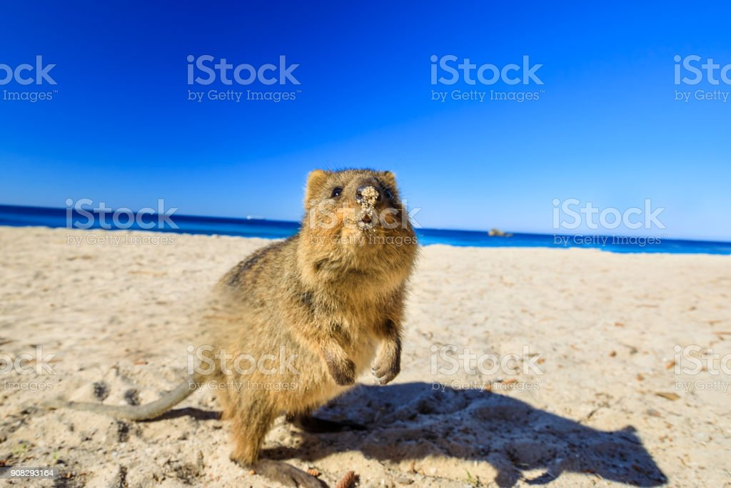 Quokka on the beach stock photo