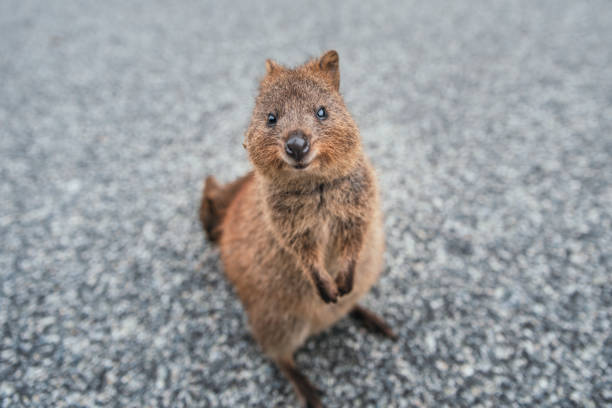 954 Quokka Stock Photos, Pictures & Royalty-Free Images - iStock