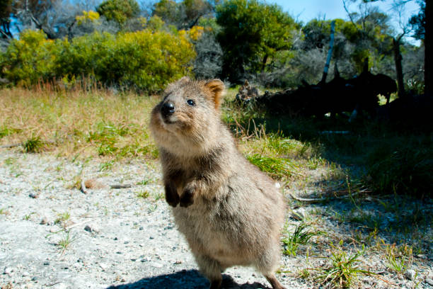 946 Quokka Stock Photos, Pictures & Royalty-Free Images - iStock