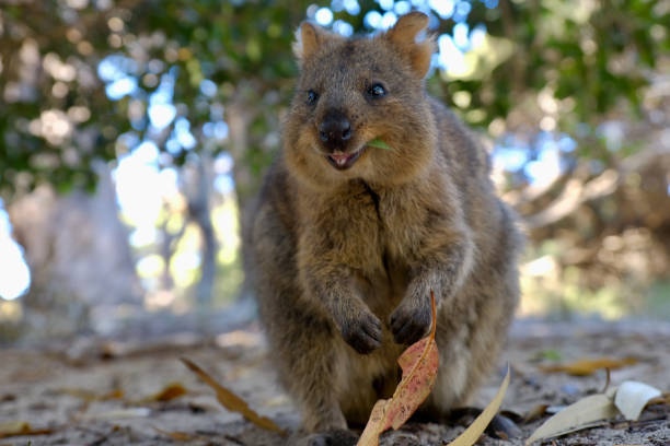 306 Quokka Happy Stock Photos, Pictures & Royalty-Free Images - iStock