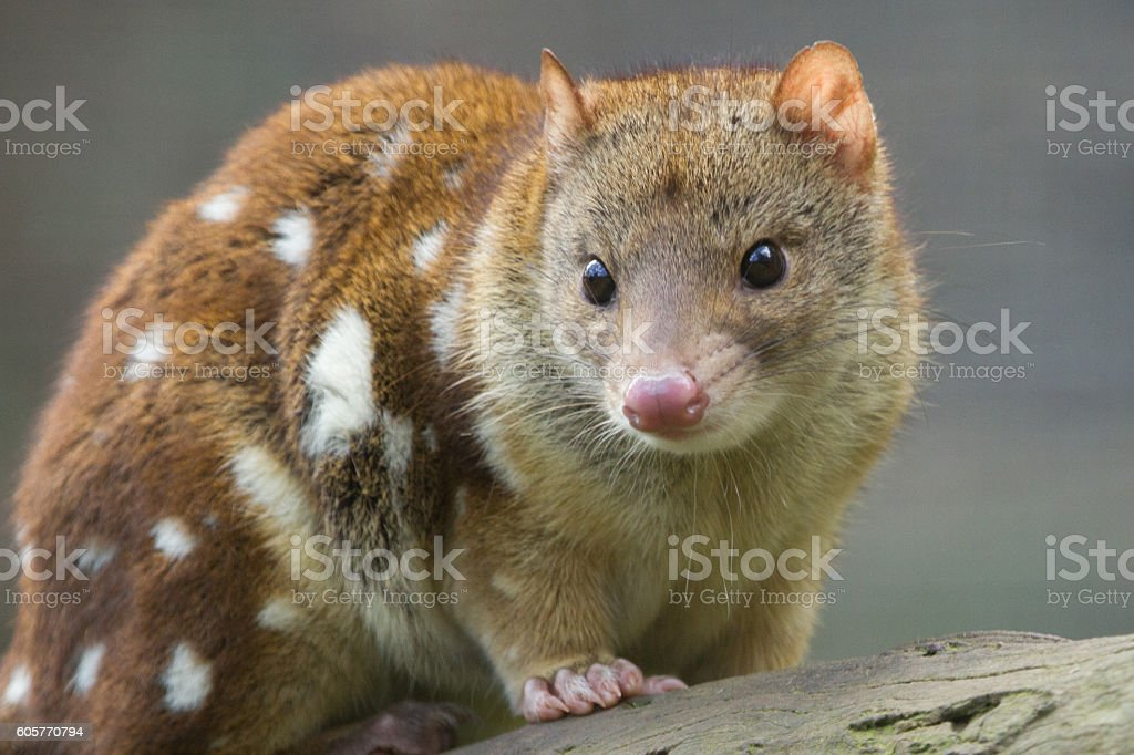 Quoll Close Up stock photo