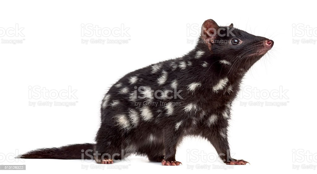 Quoll isolated on white stock photo