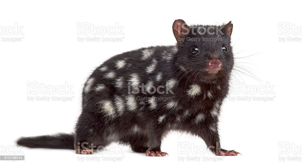 Quoll looking at the camera, isolated on white stock photo