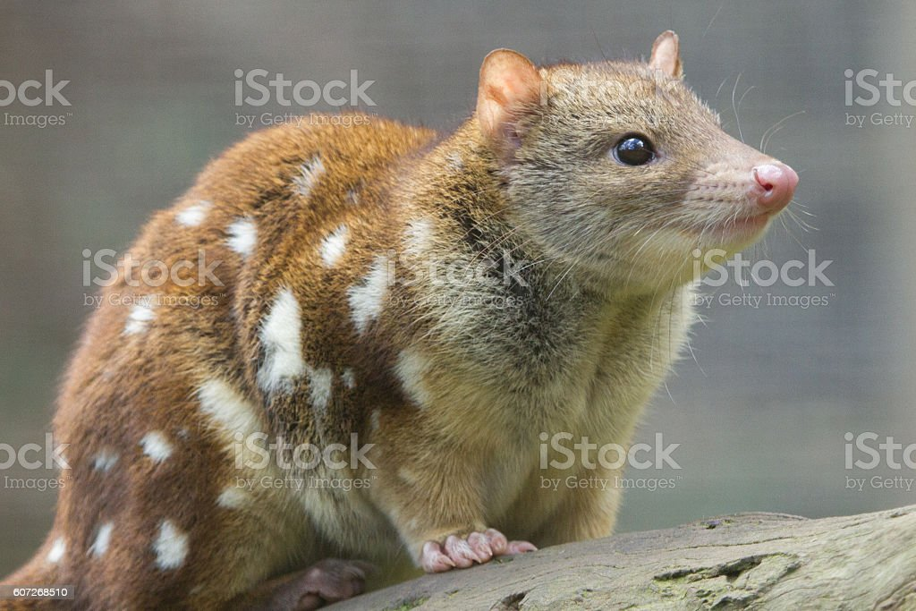Quoll Side View stock photo