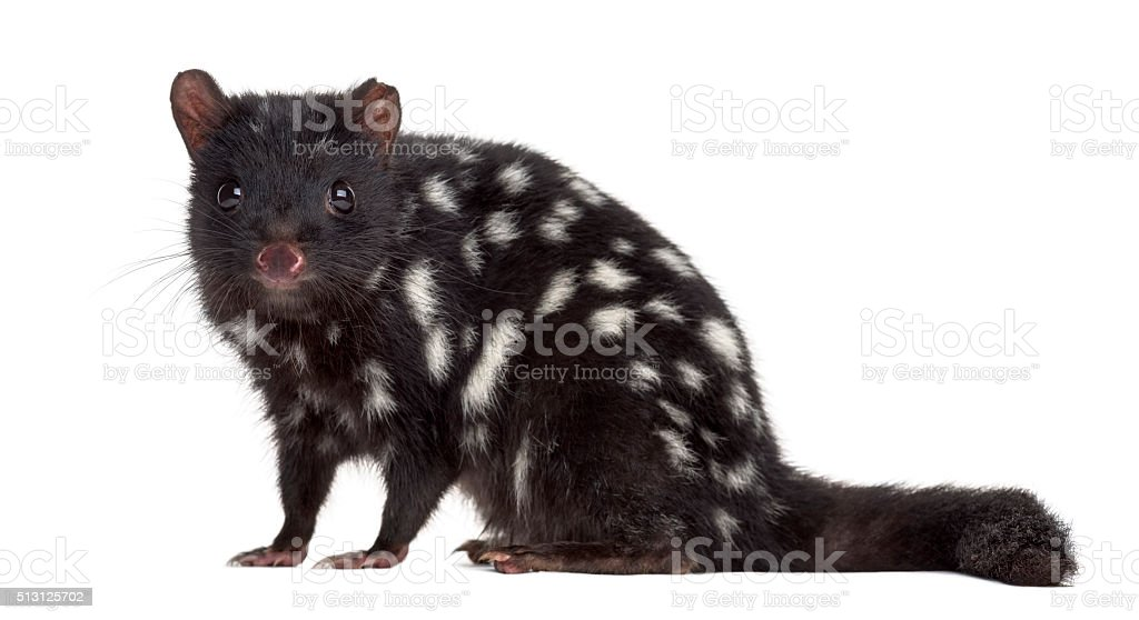 Quoll sitting and looking at the camera, isolated on white stock photo