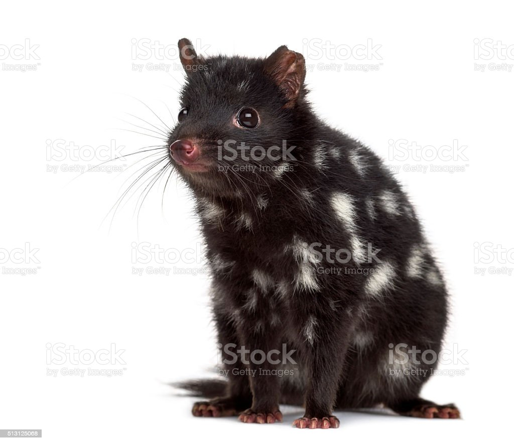 Quoll sitting isolated on white stock photo