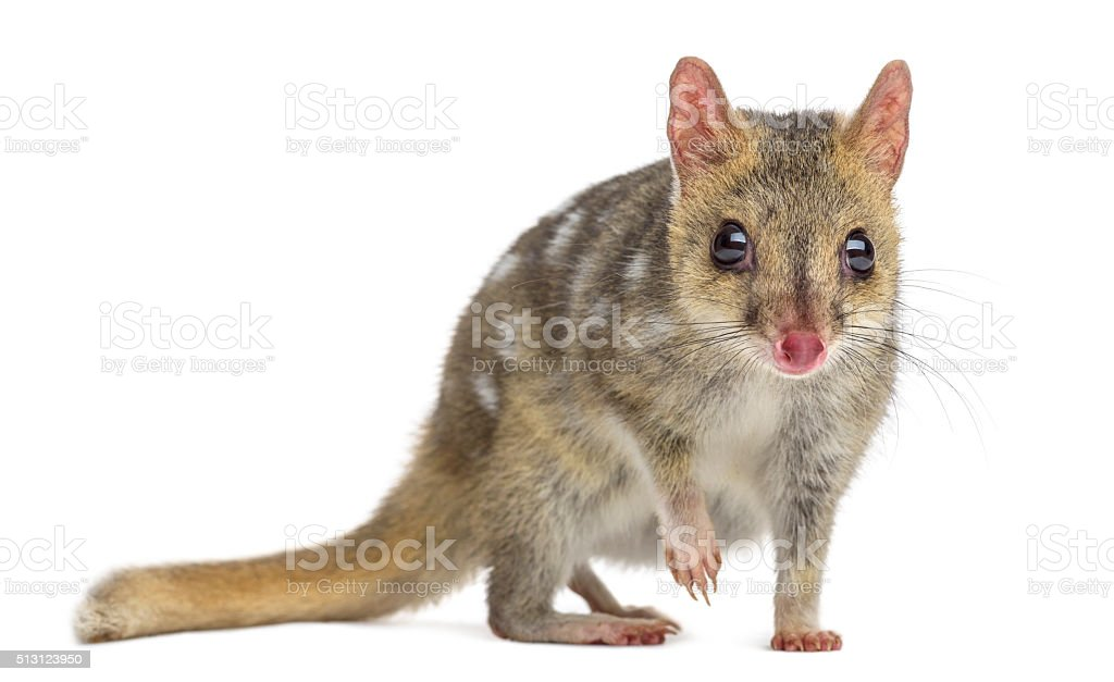 Quoll with leg up, isolated on white stock photo