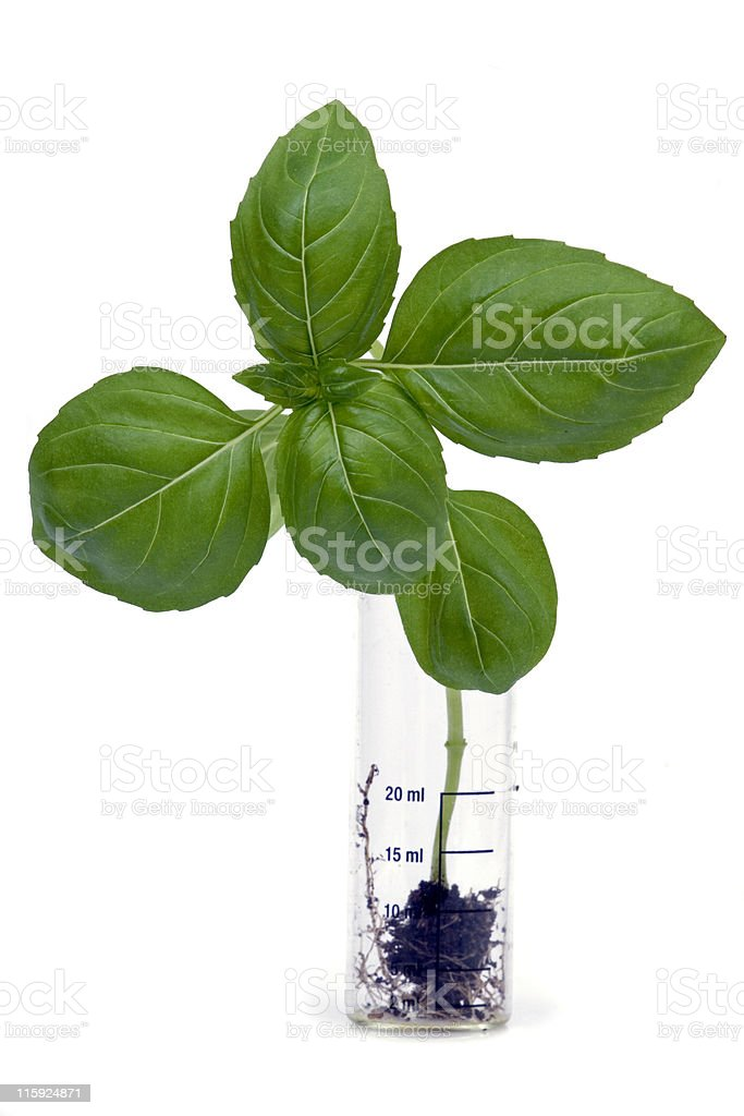 """Ocimum basilicum"" named basil royalty-free stock photo"