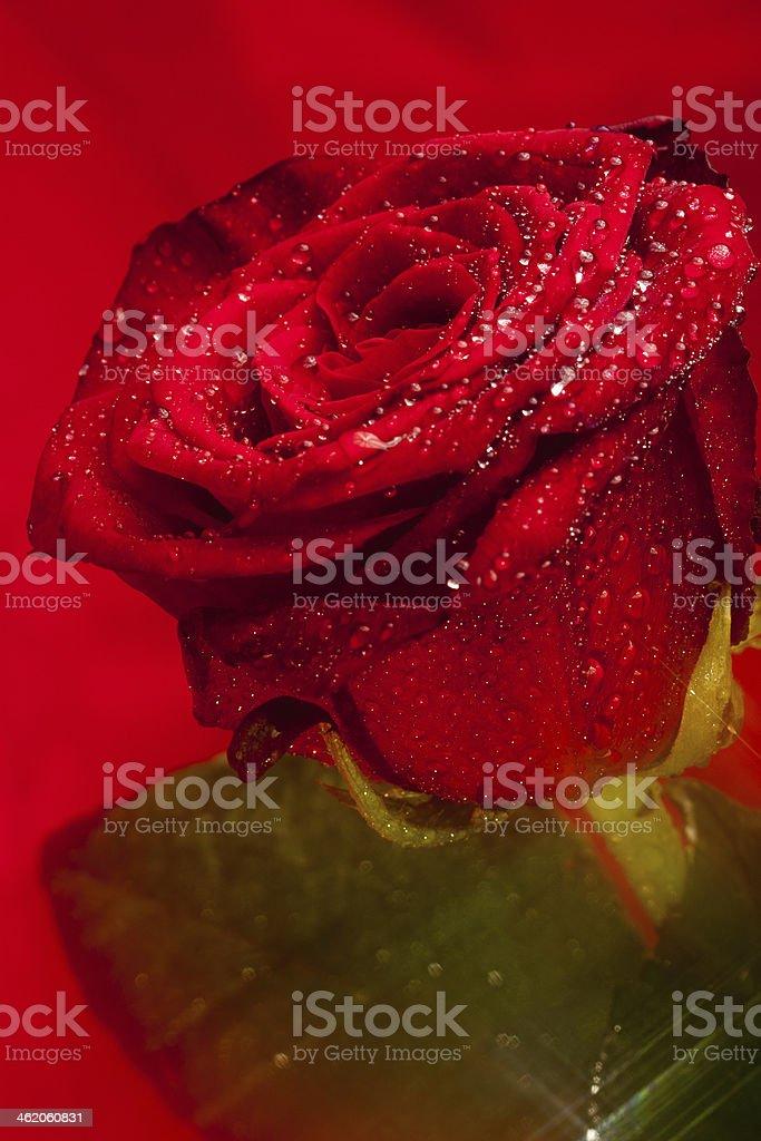 róża stock photo