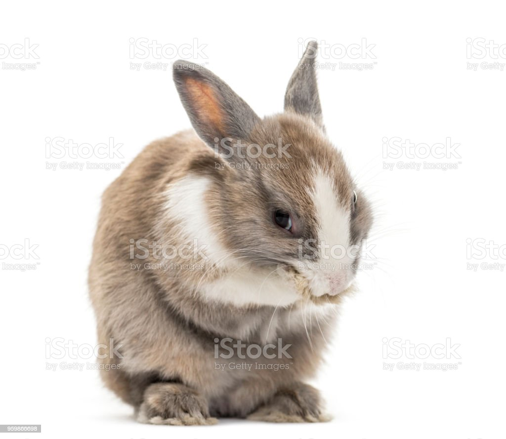Rabbit , 4 months old, cleaning paws sitting against white background stock photo