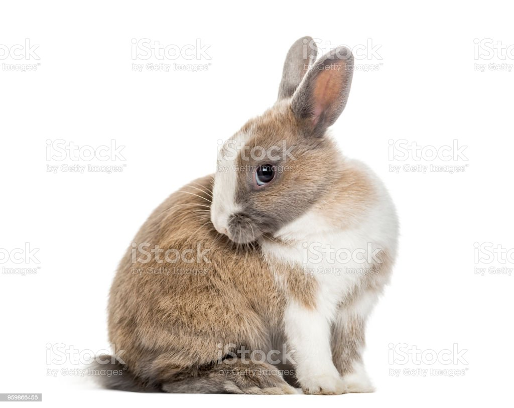 Rabbit , 4 months old, sitting against white background stock photo