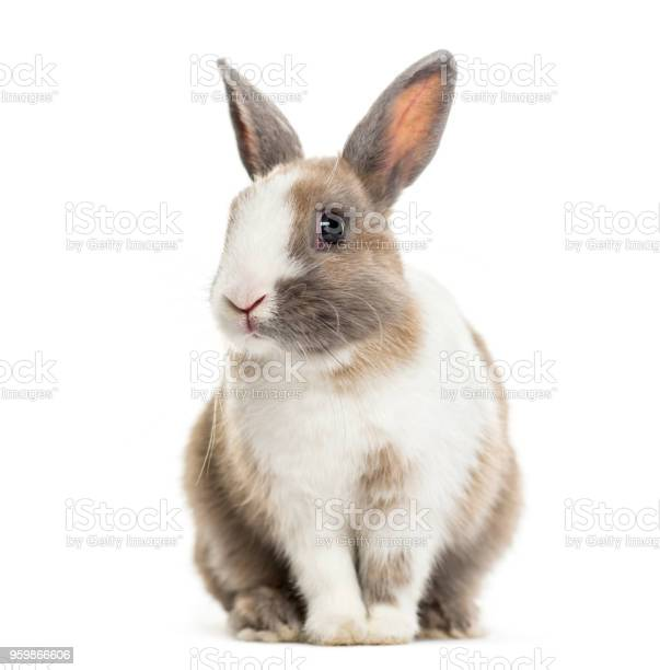 Rabbit 4 months old sitting against white background picture id959866606?b=1&k=6&m=959866606&s=612x612&h=5qflqxj1dhffrxnwupthe28fql3vfbtges0l3owttq8=