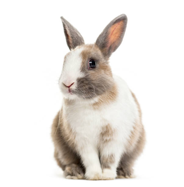rabbit , 4 months old, sitting against white background - rabbit stock photos and pictures