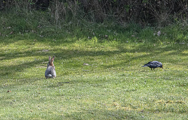 rabbit and crow stock photo