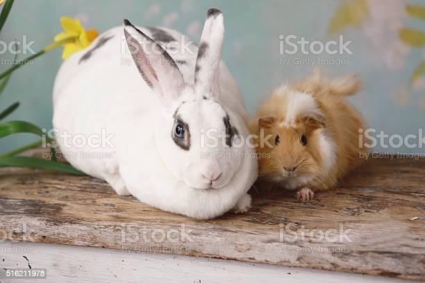 Rabbit and guinea pig picture id516211978?b=1&k=6&m=516211978&s=612x612&h=n0znk4ry8zutjtncijuuy6mh4lnxz8xe  3 uvz9or0=