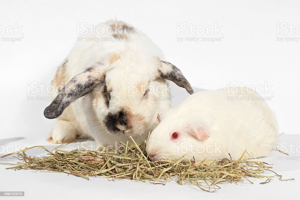 Rabbit and guinea pig stock photo