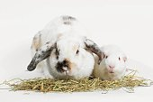 Rabbit and guinea pig eating timothy hay grass over white, Rat and friend.