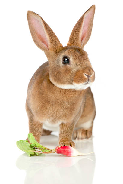 Rabbit and radish stock photo