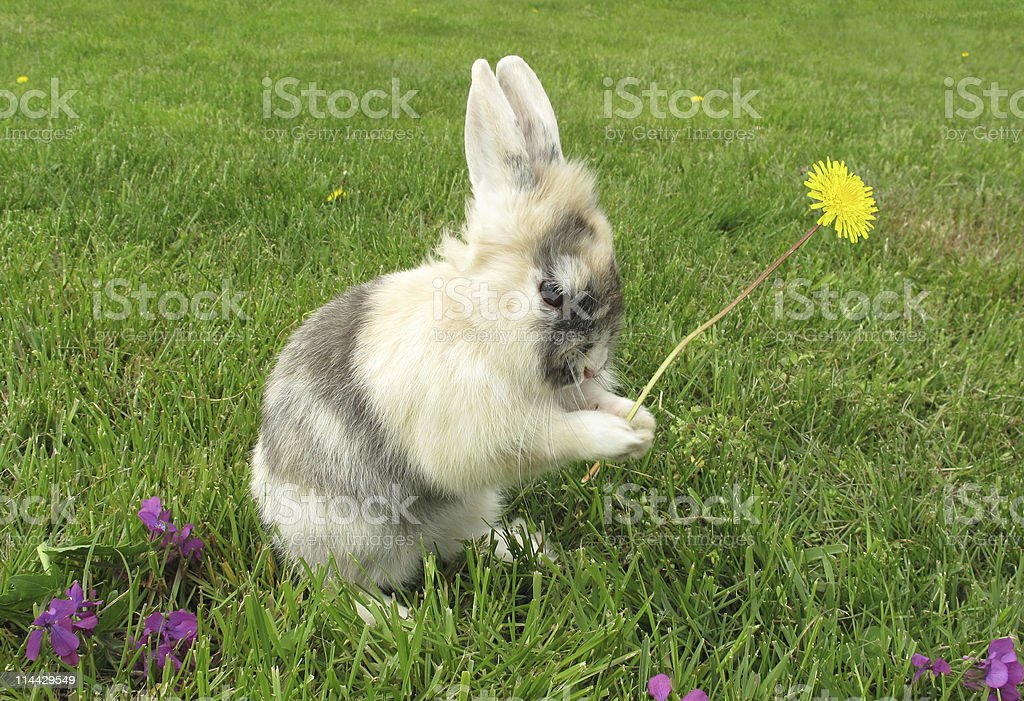 rabbit-baby-bunny-is-holding-picked-dand