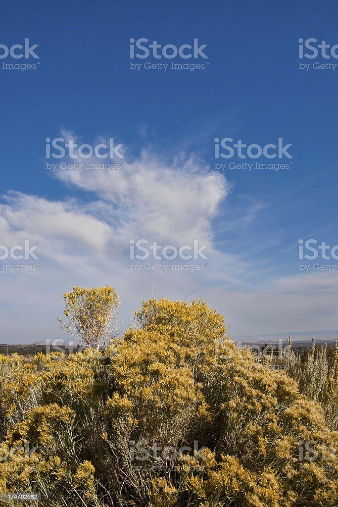 Rabbit Brush Blooming in the Desert stock photo