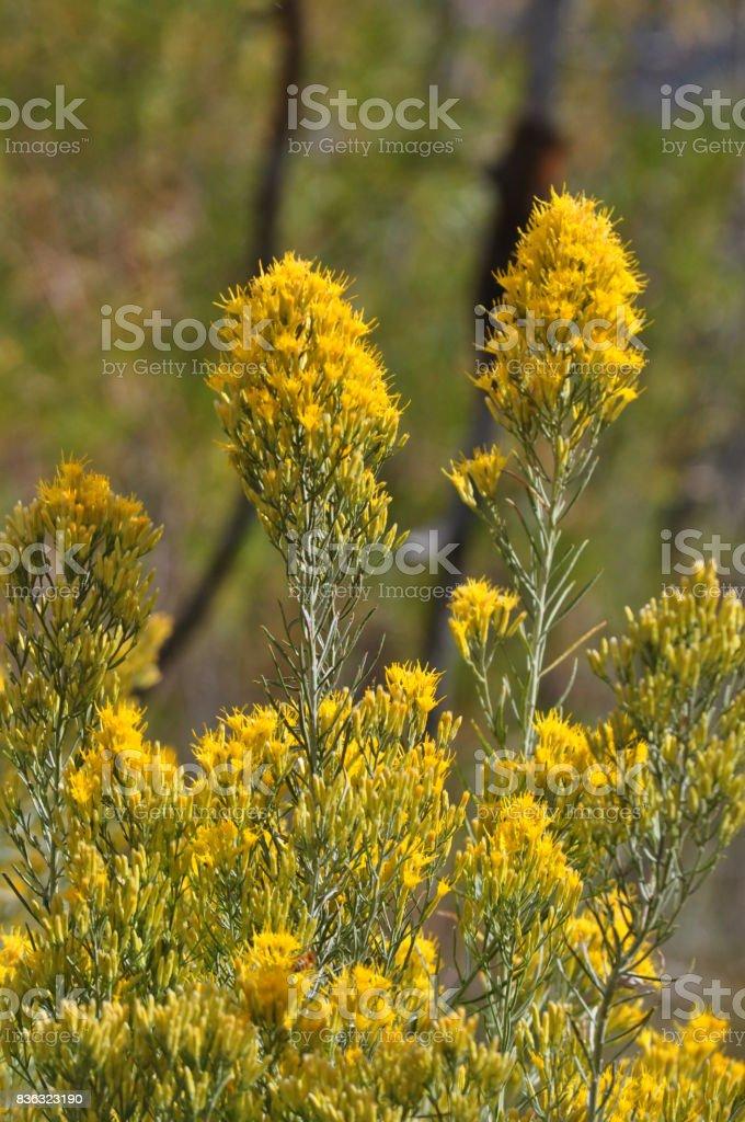 Rabbit Brush stock photo