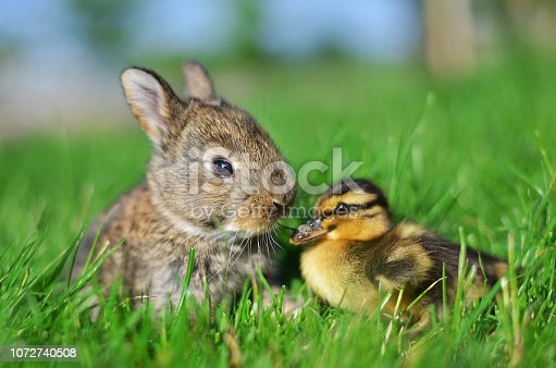Rabbit bunny and duckling best friends.