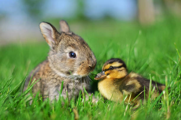 Rabbit bunny and duckling - foto stock