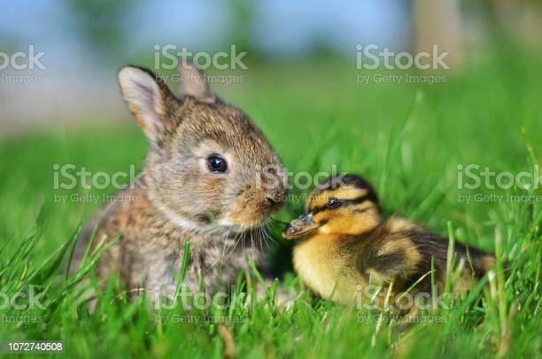 Photo of Rabbit bunny and duckling