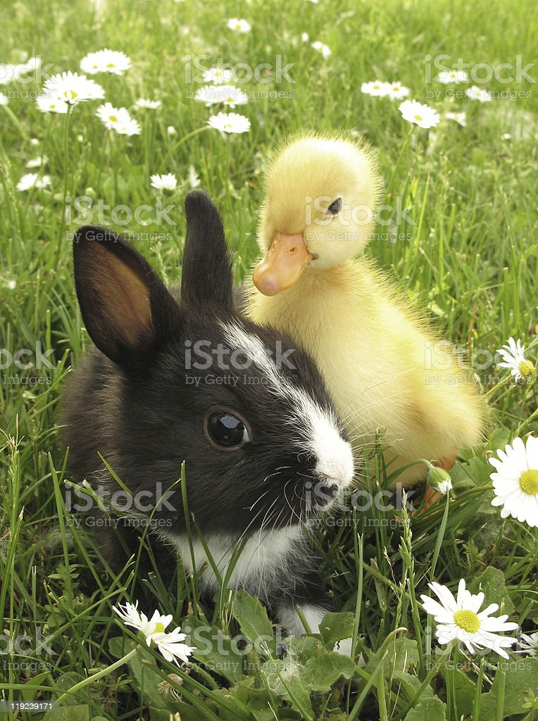Rabbit bunny and duckling stock photo