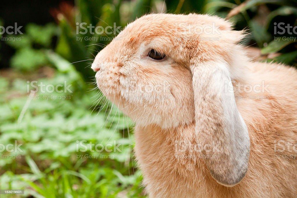 Rabbit closeup royalty-free stock photo
