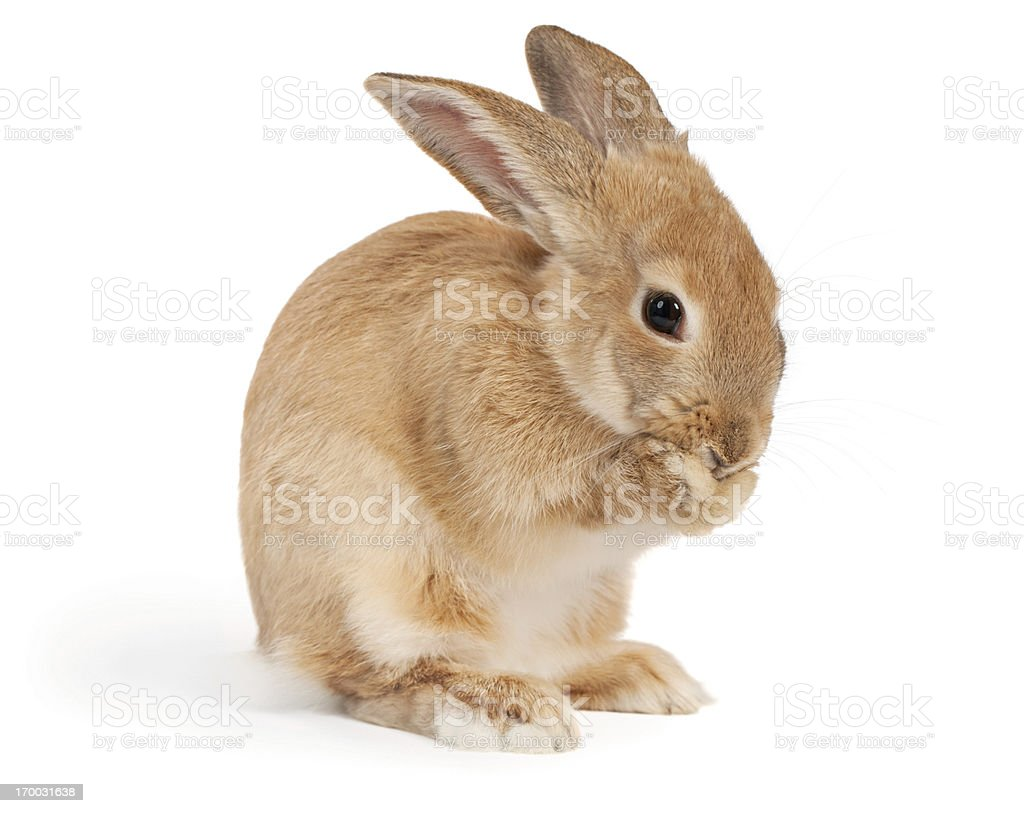 Rabbit covering her mouth stock photo