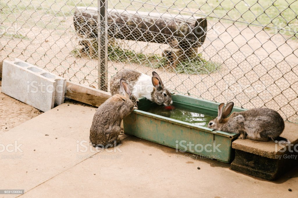 Rabbit drink water in Japan stock photo