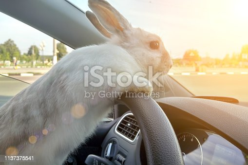 istock Rabbit drives a car, he is at the driver seat behind the steering wheel. Hare driver.. White Easter bunny rides to give gifts. Rabbit in the car 1137375541
