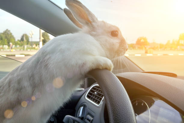 Rabbit drives a car, he is at the driver seat behind the steering wheel. Hare driver.. White Easter bunny rides to give gifts. Rabbit in the car stock photo