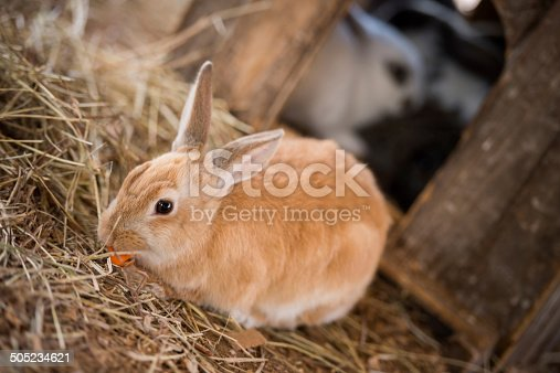 Happy rabbit eating a carrot at the hutch