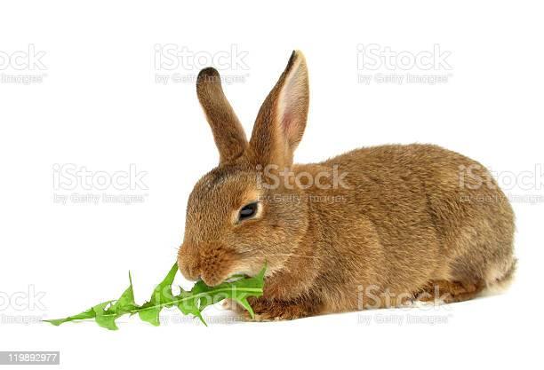 Rabbit eats dandelion leaf picture id119892977?b=1&k=6&m=119892977&s=612x612&h=fgwyakpeasooaaxkhq6vyfhcoiik ajptxnrp rrmua=