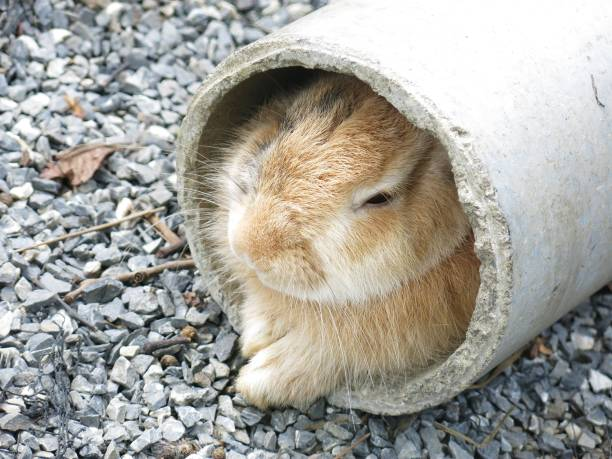 A rabbit hides in the tunnel hole – zdjęcie
