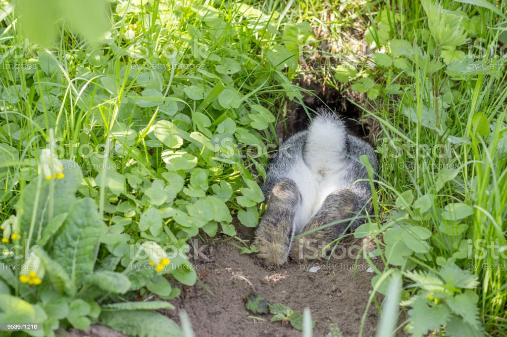 a gray rabbit hides in the rabbit hole