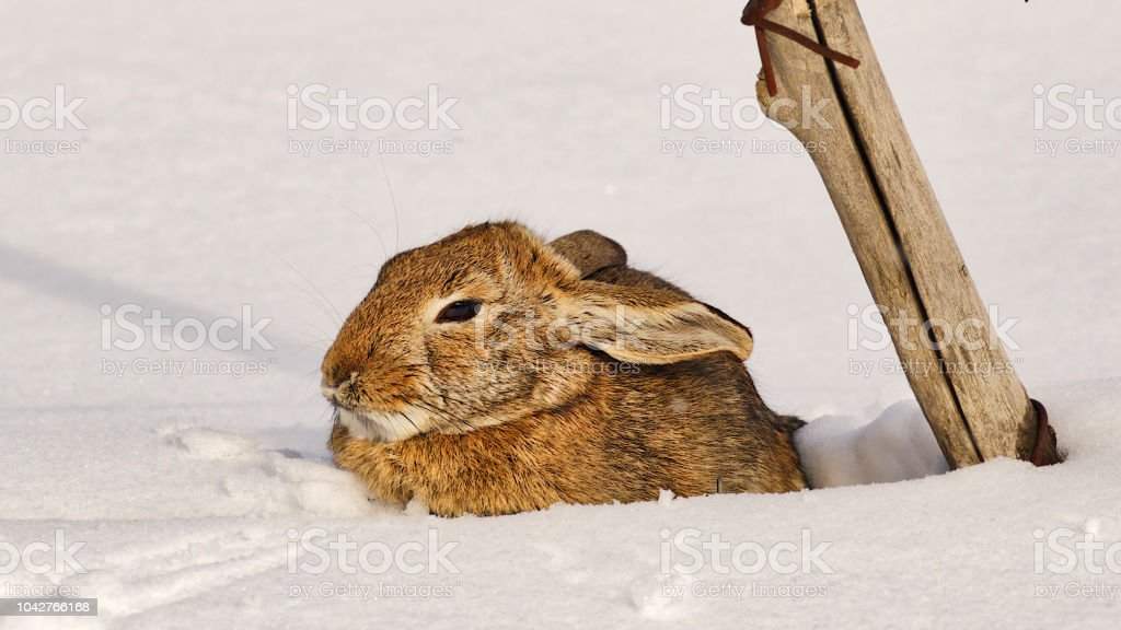 Rabbit Huddled in Snow stock photo