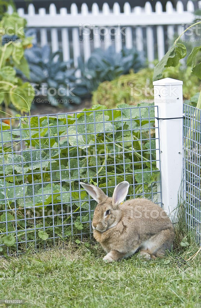 Rabbit In Garden stock photo