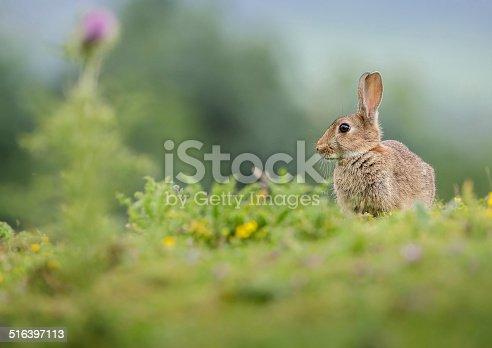 istock Rabbit in summer meadow 516397113
