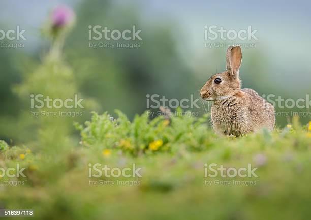 Rabbit in summer meadow picture id516397113?b=1&k=6&m=516397113&s=612x612&h=8vw pbjjjktjphqly pd20jfv4tgmrfzb21ous9iuic=