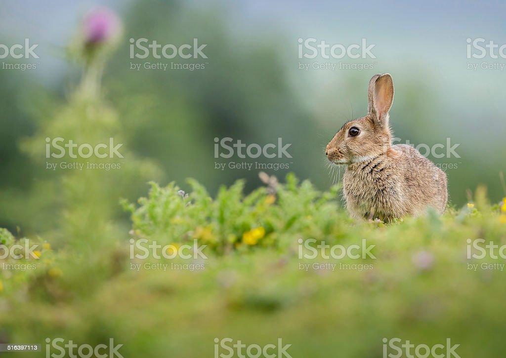 Rabbit in summer meadow stock photo