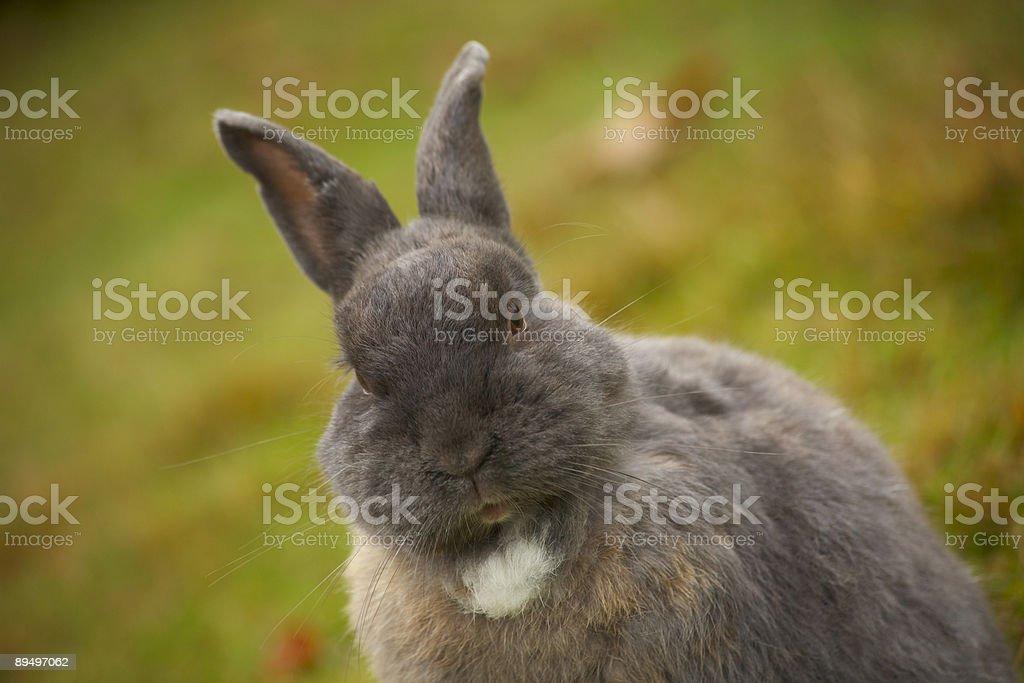 Coniglio in erba foto stock royalty-free