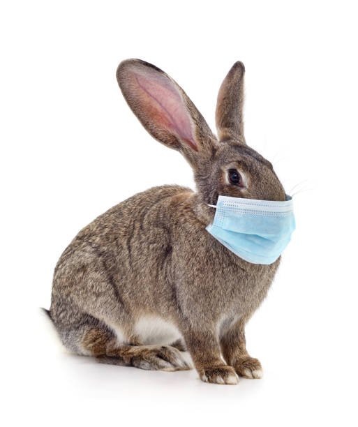 Rabbit in the medical mask. Rabbit in medical mask isolated on a white background. rabbit animal stock pictures, royalty-free photos & images
