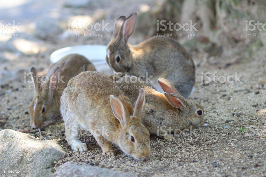 兔子島在日本圖像檔